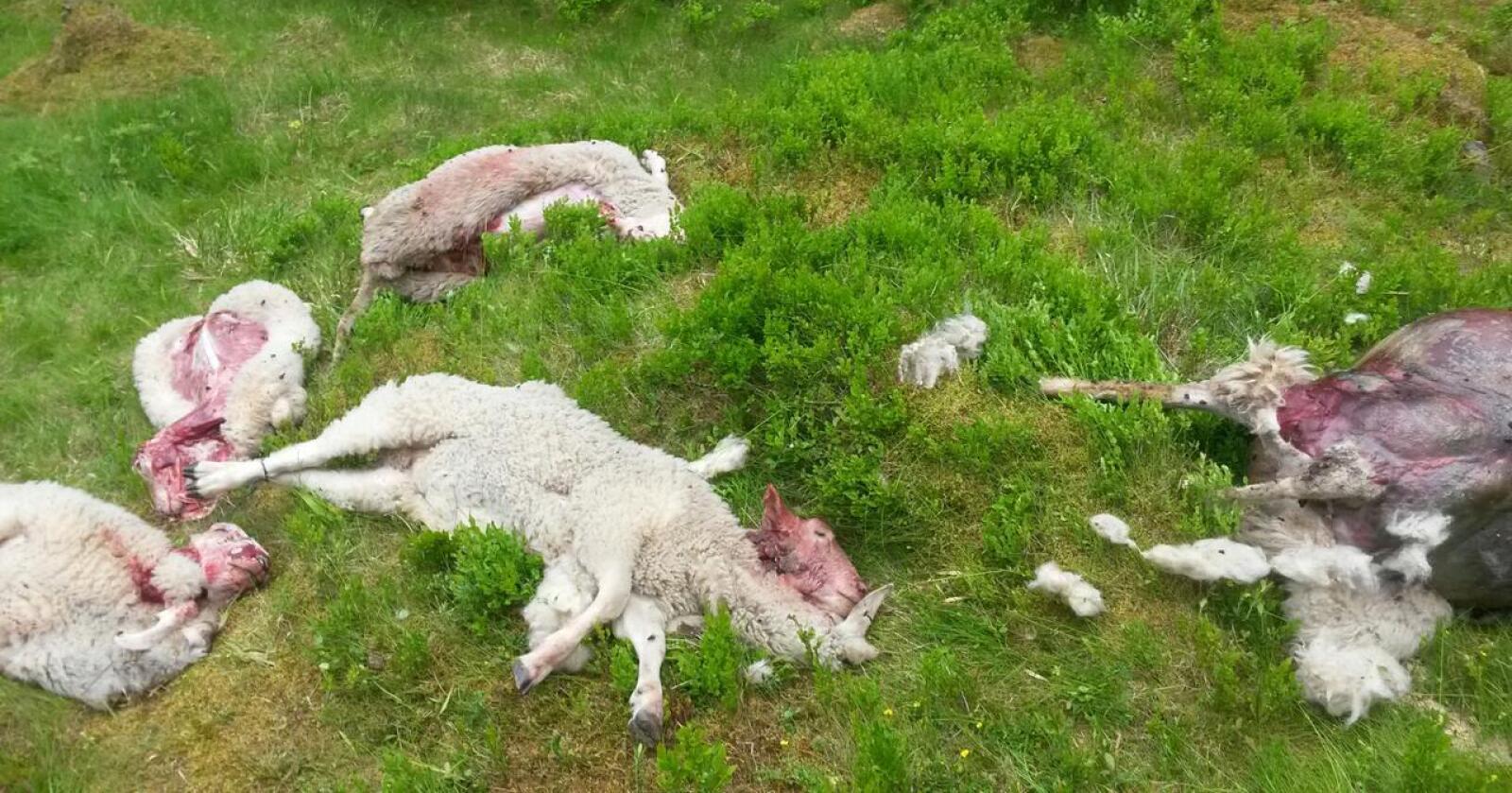 Sauene som ble angrepet, var inngjerdet av nye rovviltgjerder, men ulven hadde likevel kommet seg inn. Disse sauene ble drept av ulv i Eidsvoll i 2015. (Foto: Statens naturoppsyn)