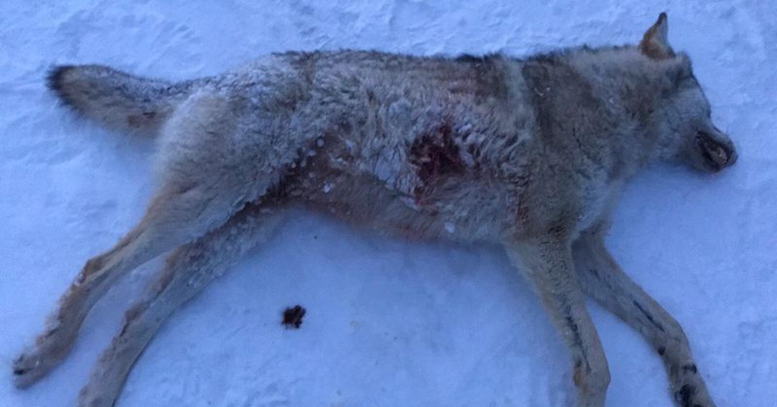 Denne ulven ble felt i Ringsaker søndag. Foto: Olaf Tørudbakken