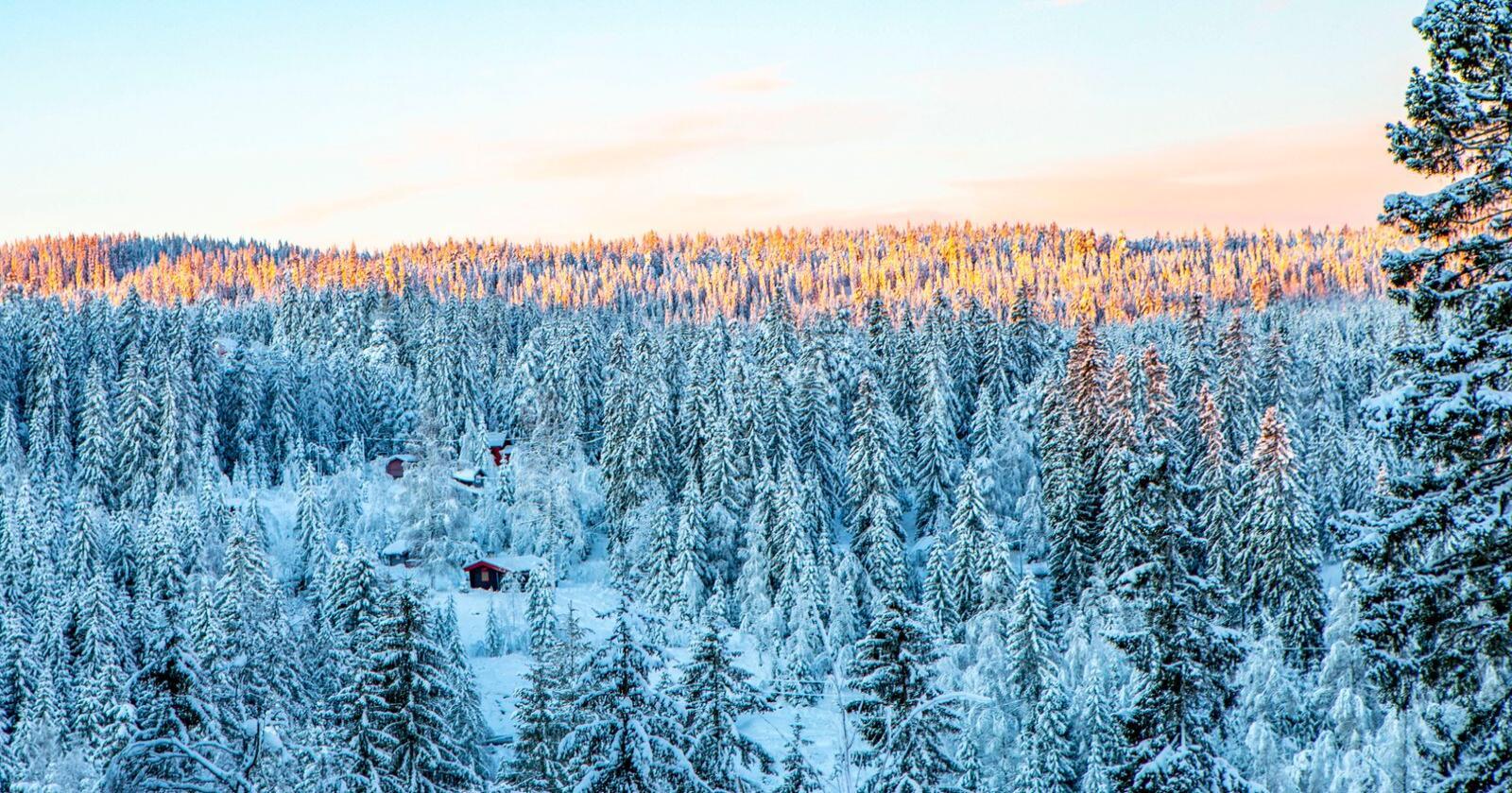 Frp vil regne skogens CO₂-opptak som et utslippskutt. Her fra Lillomarka i Nittedal. Foto: Paul Kleiven / NTB