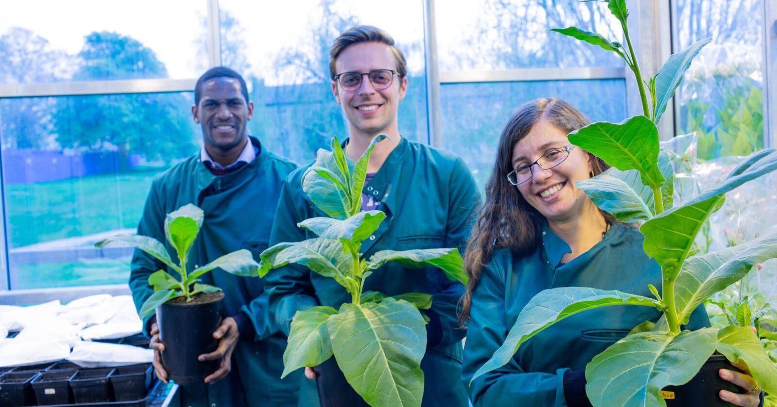 Effektiv: Ved å identifisere flere flaskehalser i fotosyntesen, og sette inn gener i plantene som koder for proteiner som gjør prosessen mer effektiv, har forskerne klart å lage planter som gir 27 prosent høyere avlinger. Foto: Ripe-prosjektet