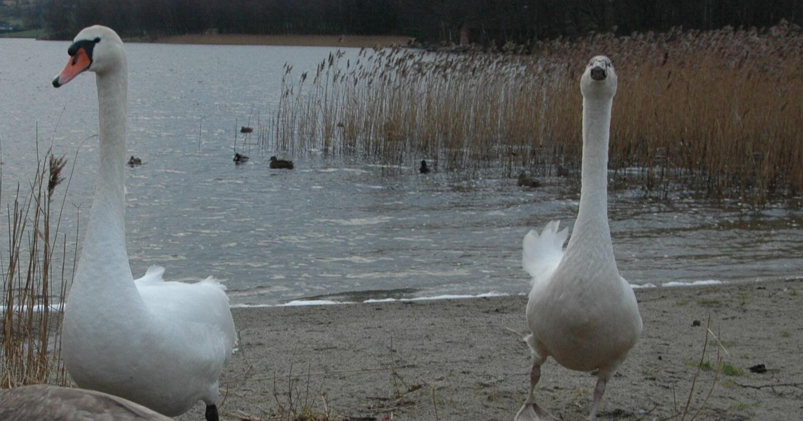 Knoppsvanene ble funnet døde på isen på Lille Lungegårdsvann. (Arkivfoto)
