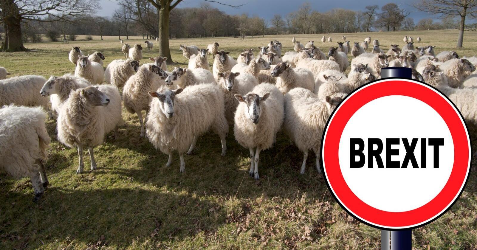 Brexit: Britene er med god margin Europas største eksportører av lammekjøtt. Bondelaget frykter regjeringen vil gi britene økt markedsadgang til Norge. (Foto: Mostphotos)