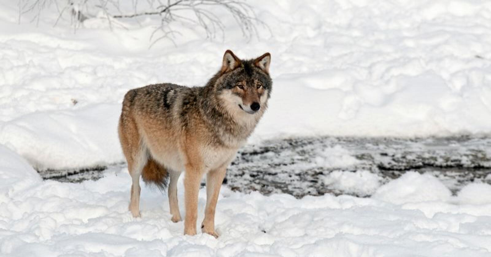 Rovdata har funnet ut at det ikke er noe grunnlag for å si at ulver i Norge kan stamme fra dyreparker eller er hybrider. Foto: Mostphotos