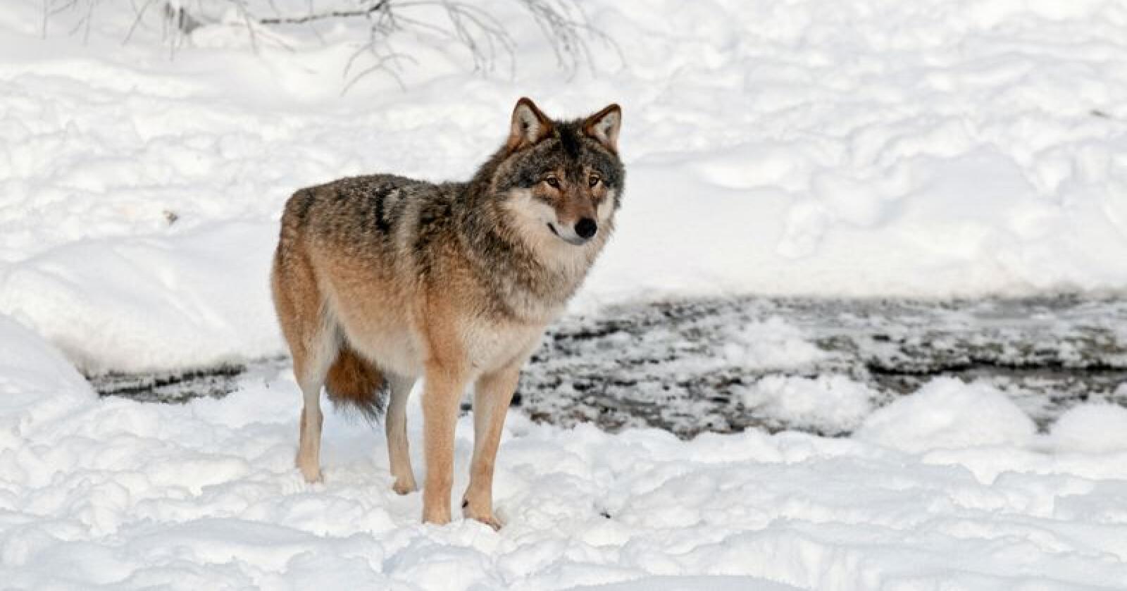 Forvaltningen av rovdyrstammene må flyttes til Landbruks- og matdepartementet, skriver Erlend Kvittum Nytrøen. Foto: Felix Andre Skulstad /Mostphotos