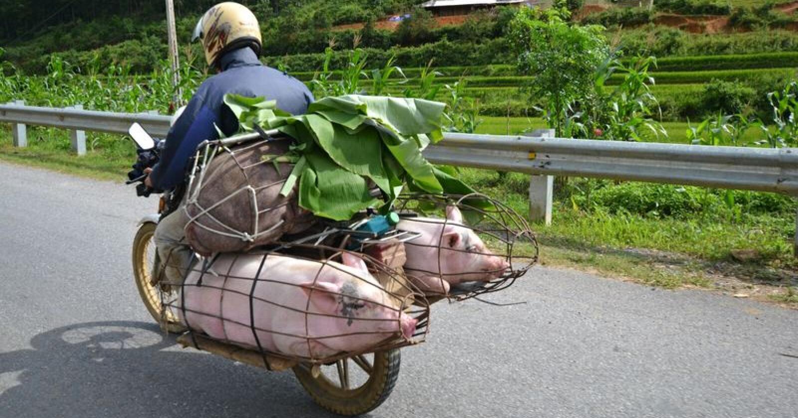 Afrikansk svinepest har ført til at millioner av asiatiske griser er omkommet eller blitt avlivet. Denne måneden er det ett år siden sykdommen først ble oppdaget i Asia. På bildet fraktes svin i Vietnam, et av landene som er blitt aller hardest rammet. Illustrasjonsfoto: Shutterstock
