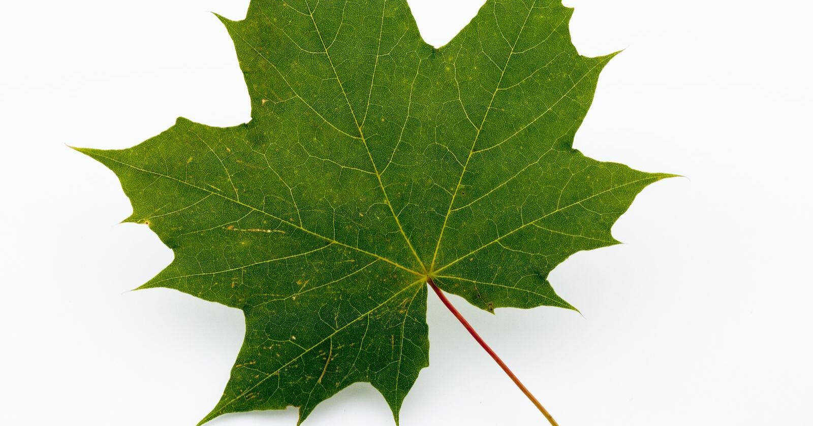 Store blader: De langstilkede bladene sitter parvis motsatt på kvistene og har flere spisse, tydelige lapper med få tenner i bladkanten. Foto: Dan Aamlid