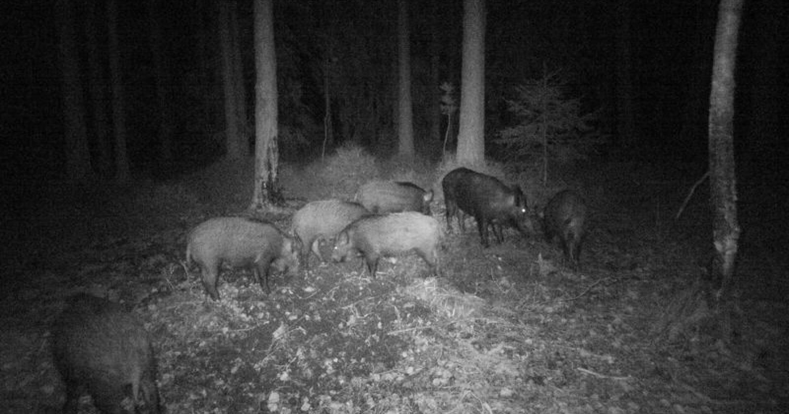 Viltkamera: Villsvinflokk fanget av viltkameraet til Hrorar Gimming i Halden i 2018. Den minste flokken var i fjor på tre purker og den største på seks.