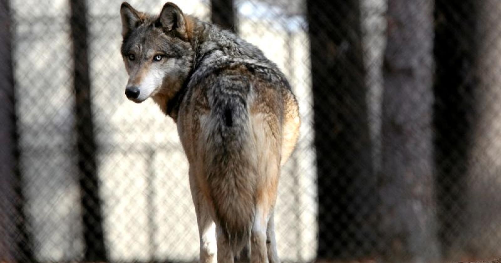 Flere ulveflokker har reetablert seg utenfor Madrid. Illustrasjonsfoto: Dave Kettering / AP