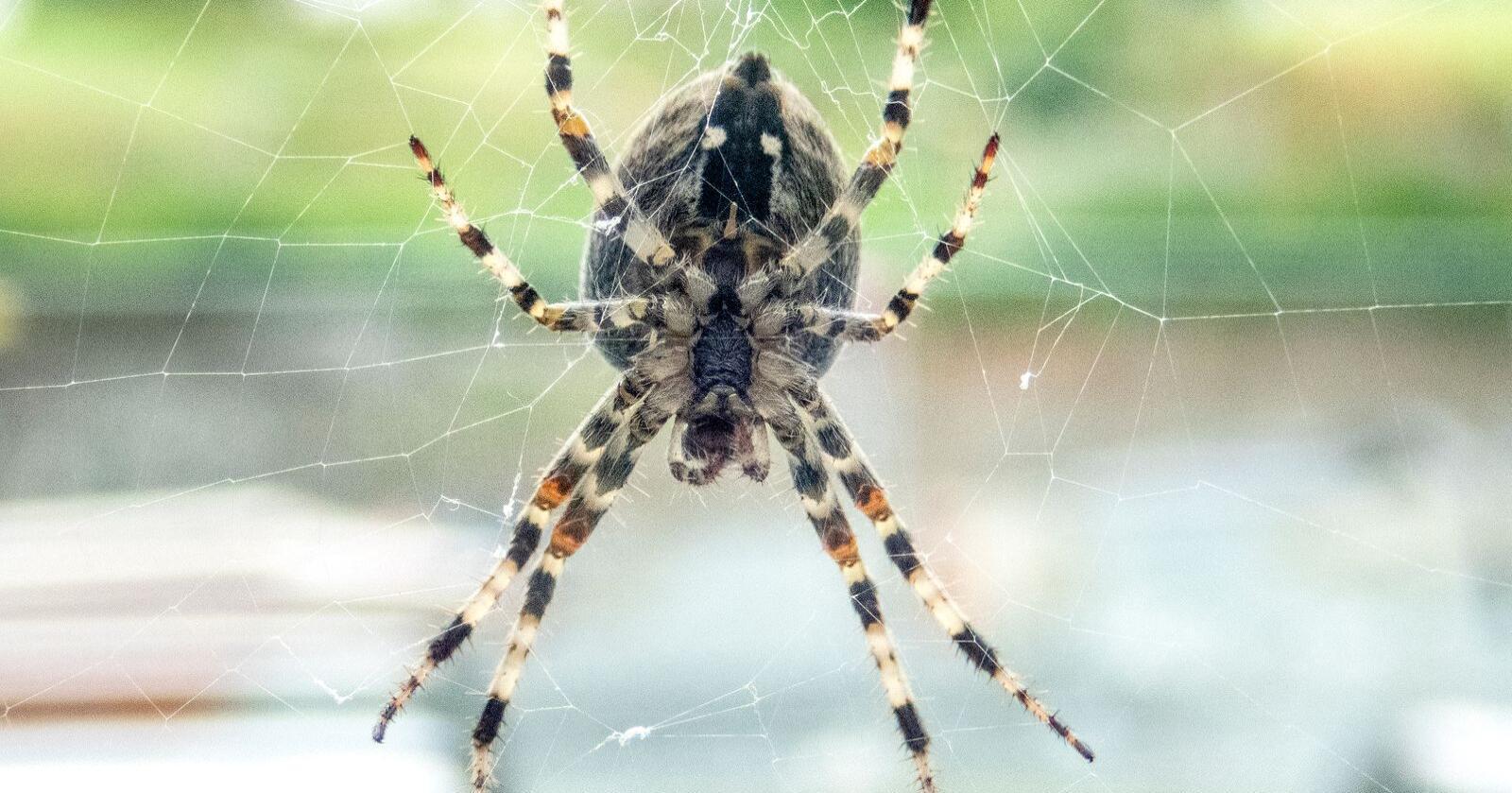 Edderkopper i Norge er verken farlige eller provoserer fram allergiske reaksjoner hos mennesker, selv om de har gift og kan bite. Dette er en korsedderkopp. Foto: Gorm Kallestad / NTB