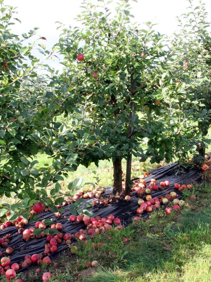 Tonnevis med frukt endar som nedfallsfrukt og rotnar på bakken i norske hagar kvart år. Illustrasjonsfoto: Kari Hamre / NPK