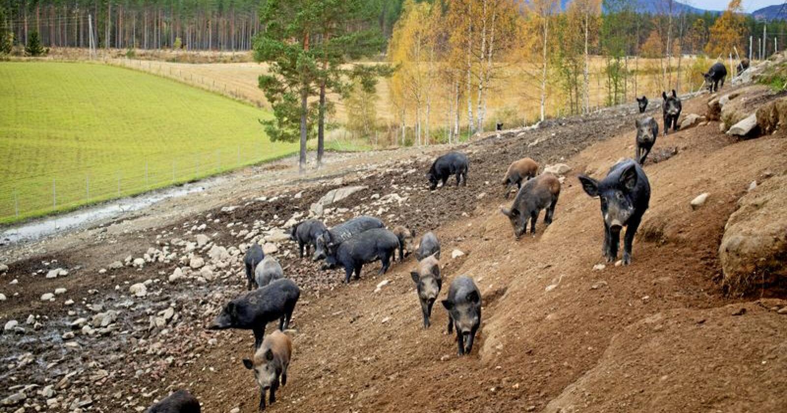 Frankrike vil gjerde de belgiske svina ute. Her fra tamme villsvin i Hallingby. Foto: Kyrre Lien / NTB scanpix