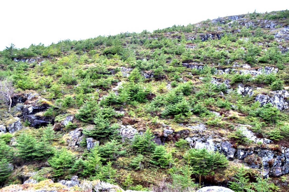 SITKAJUNGEL: – Om 30-40 år er den dominante vegetasjonen her ute et ufremkommelig sitkakratt, sier Roar Svenning.