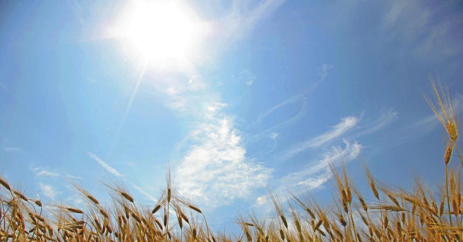 Flere år med mye nedbør om høsten og vanskelige innhøstingsforhold, har gjort at selvforsyningen av hvete har gått ned det siste tiåret. Foto: Frank May