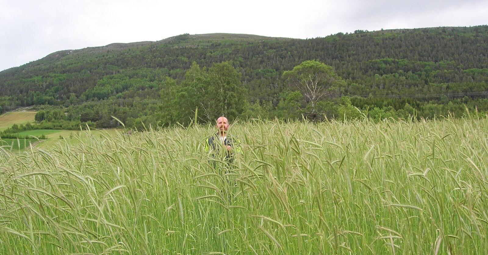 Høy: Svedjerug kan bli opptil 2,5 m høy og den kan få mange titalls aks fra et enkelt frø. Foto: Johan Swärd