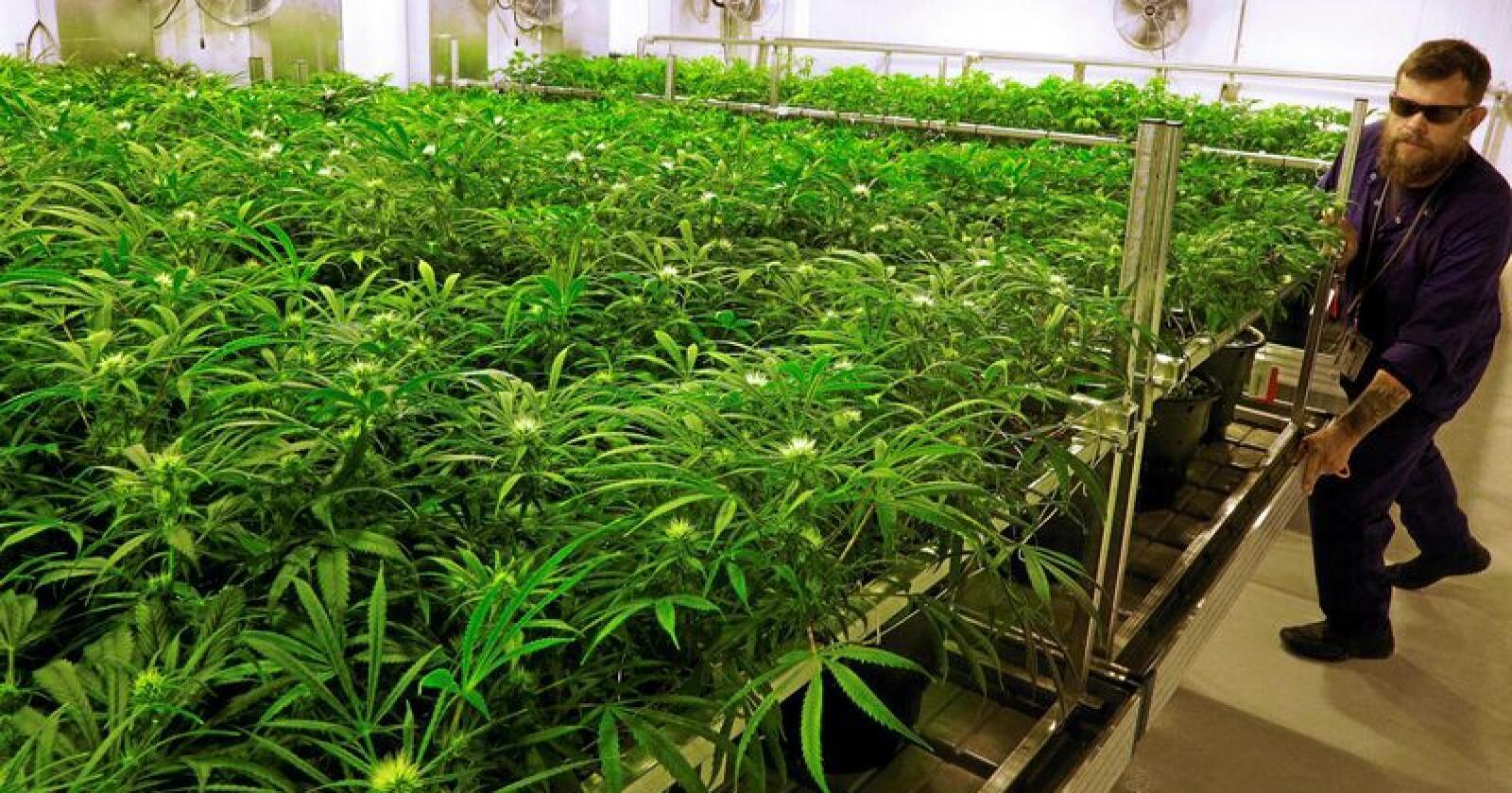 Grønne fingre: Sjefsdyrker Dave Wilson med marihuana-planter i dyrkingsanlegget til Ataraxia, som dyrker til medisinsk bruk i den amerikanske delstaten Illinois. Foto: Seth Perlman / AP / NTB Scanpix