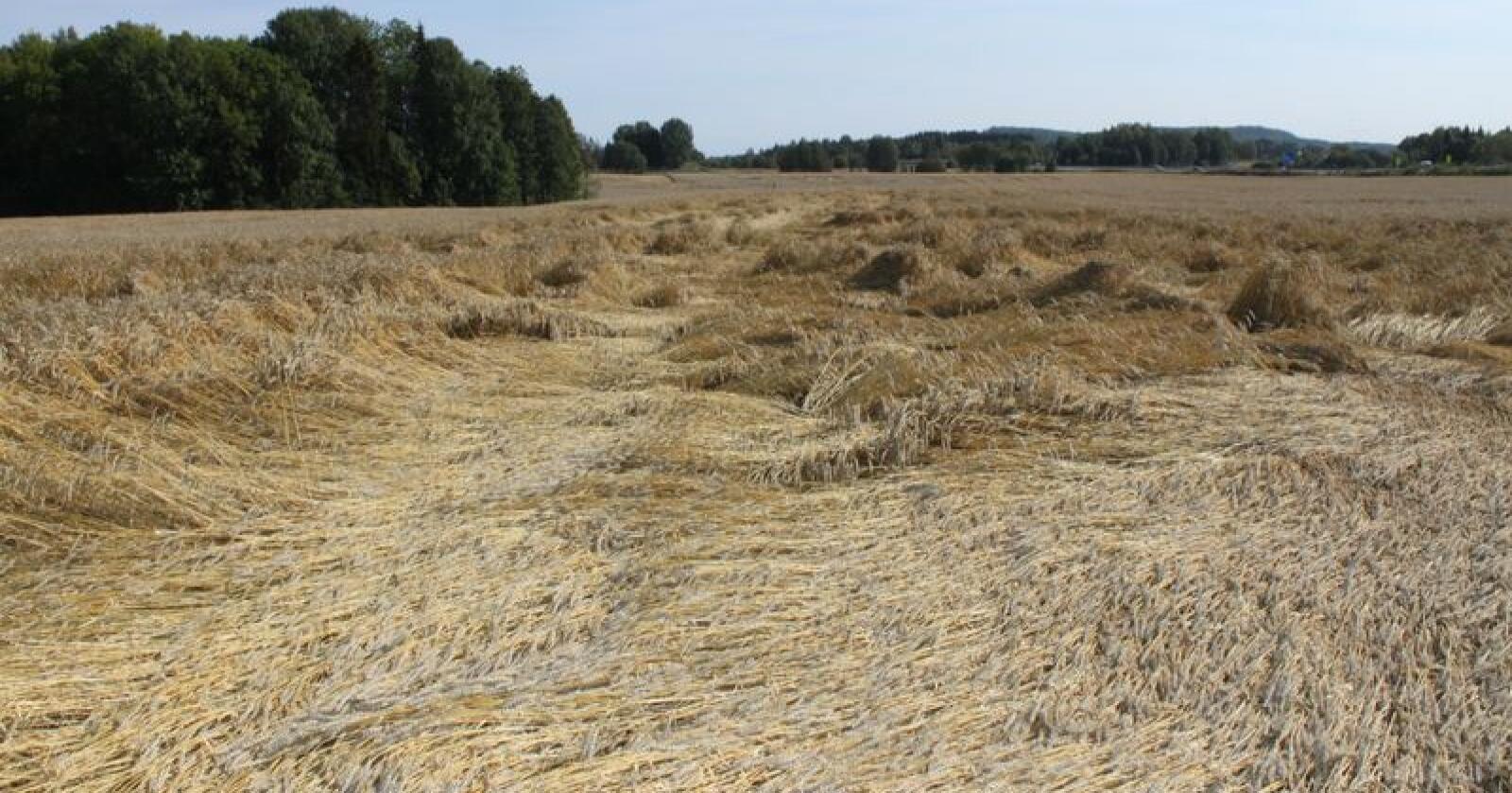 I Danmark er det sjeldent rentabelt å stråforkorte høsthvete, men nå kommer det trolig en måte å forsikre avlingen mot økonomisk tap på grunn av legde. Illustrasjonsfoto: Dag Idar Jøsang
