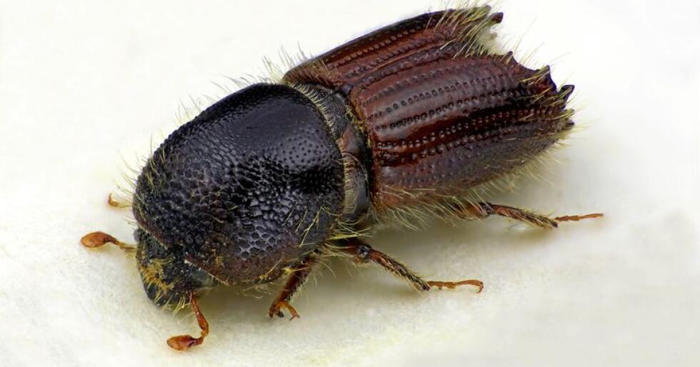 Granbarkbillen kan angripe og drepe helt friske grantrær. Det var tidligere fryktet at et stort angrep av billen skulle komme denne sommeren. Foto: Karsten Sund/Naturhistorisk museum