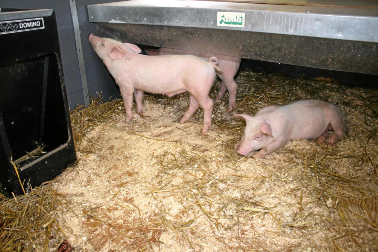 Dyrevelferd: Registrert førekomst av halesår på griser har auka kraftig dei siste åra. Bransjen seier det blir jobba med tiltak for å få redusert omfanget. Foto: Bjarne Bekkeheien Aase
