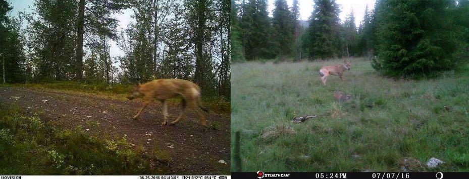 Omstridt: Det er disse to bildene Gunnar Gundersen har delt på Facebook. Han mener bildene og mangelfull DNA-kartlegging gir grunn til å spørre hvorvidt det finnes hybrider i norsk natur, og hvor ulven kommer fra. Foto: Privat/Montasje