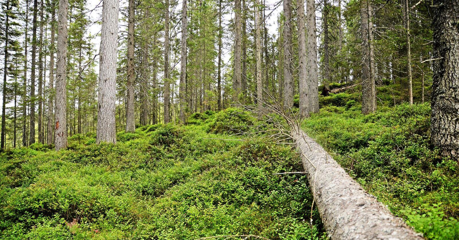 Skog i Follsjå-området i Notodden i Telemark har blitt foreslått vernet. Illustrasjonsfoto: Siri Juell Rasmussen
