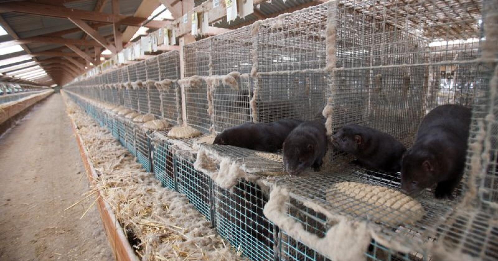 For tredje året på rad har Norges Pelsdyralslag fjennomført en stor intern kontroll av mink. Illustrasjonsfoto: Alf Ove Hansen / Scanpix
