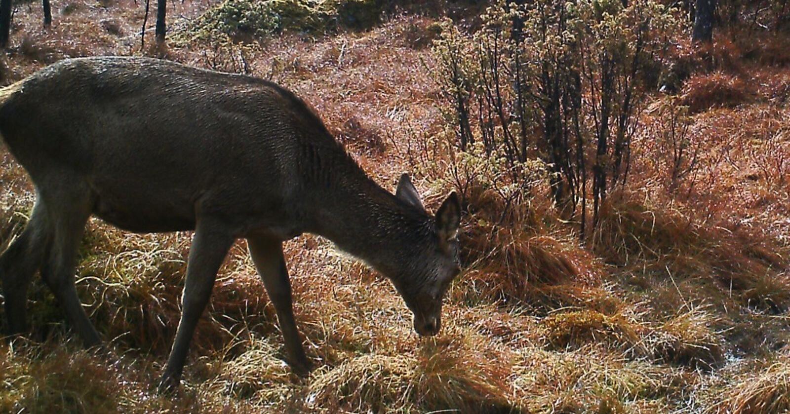 Noen steder er det ikke noe poeng i å slå andreslåtten, hjorten har allerede tatt den, skriver Vegard Nils Smenes. (Arkivfoto: Åkrafjord jakt)