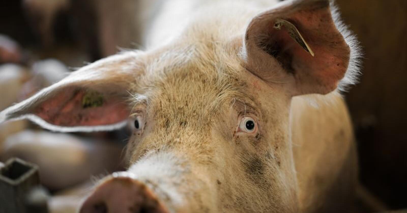 En ny dokumentar som tar for seg norsk svinenæring skal etter planen sendes på NRK før sommeren. Illustrasjonsfoto: Benjamin Hernes Vogl