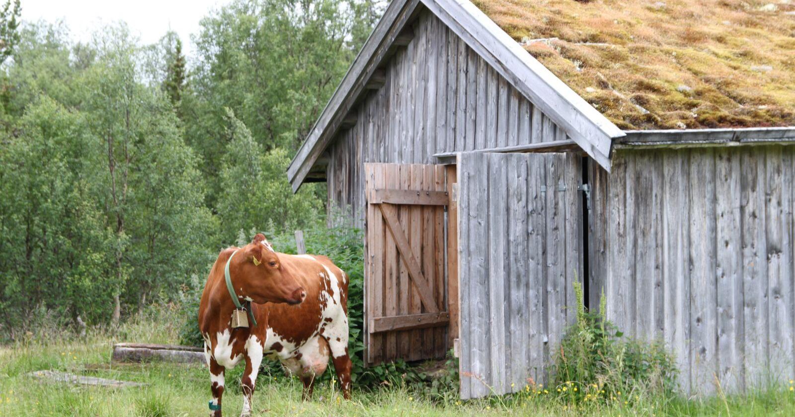 Skal du levere melk fra setra i sommer? Da vil Tine ha beskjed i god tid før.