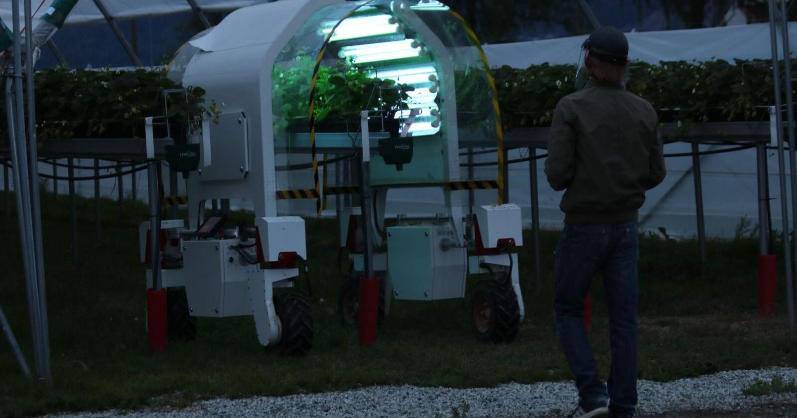 Her UV-behandles jordbær mot meldugg. Behandlingen gjøres av roboten Thorvald, som er levert av Saga Robotics. Foto: Dag Idar Jøsang