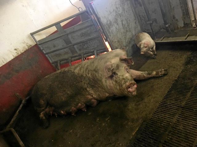 Miljøpartiet De Grønne vil styrke veterinærdekningen og skjerpe kravene til dyrehold. Her fra Mattilsynets tilsyn hos en svinekjøttprodusent i Rogaland. Foto: Mattilsynet