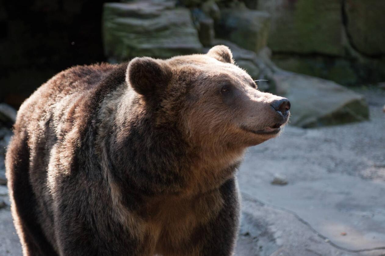Flere steder i landet har bjørn forsynt seg i saueflokkene de siste dagene. Foto: Colourbox