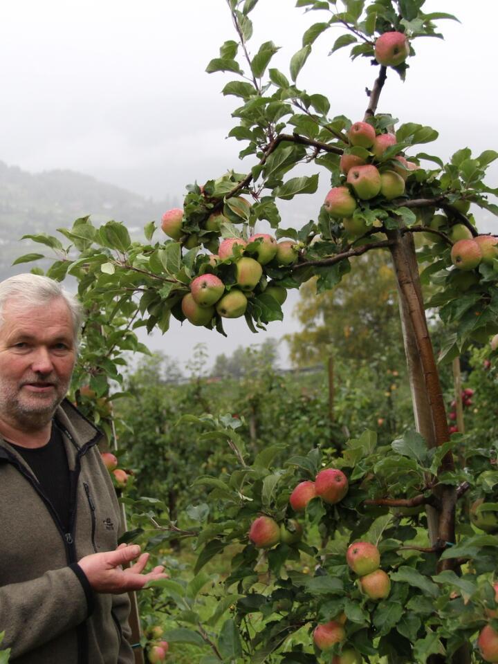 MANGFOLDIG: På Hakastad i Ulvik dyrker Asbjørn Børsheim rundt 20 ulike eplesorter. Brorparten av eplene presser han til sider og eplemost, som han selger i gårdsbutikken, til restauranter og på Vinmonopolet.
