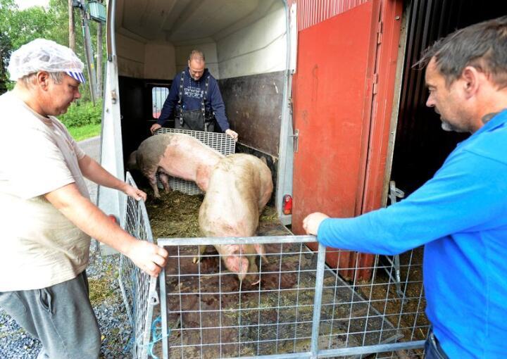 Siste reis for grisene til Bob Van Dam (midten) fra Skjåk. Slakterne Lasse Martin Aamodt (tv.) og Jan Morten Kampesveen tar grisene vel i mot. Alle foto: Mariann Tvete