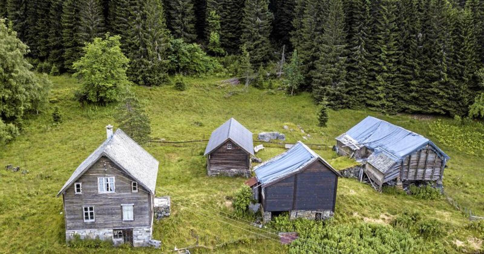 Voss: Plantet skog står for halve tilveksten i vestlandsskogen. Foto: Pål Hermansen