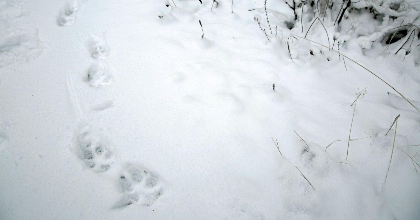Bruk av hunder i jakt på ulv gjør jakta mer effektiv, mener Norges Bondelag. Foto: Henrik Skolt / NTB
