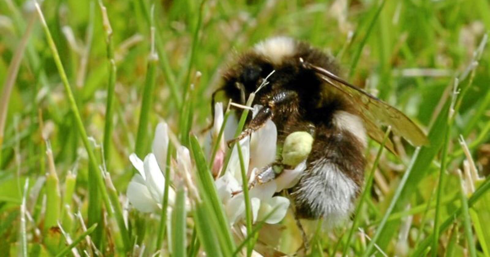 Pollinatorer trenger mat: Humler er viktige ledd i den økologiske veven. Foto: Terje Pedersen/NTB scanpix