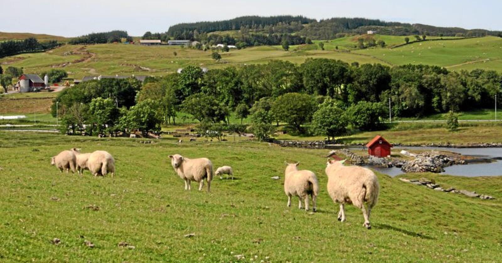Overskot: Ved inngangen til årets slaktesesong har Nortura nær 600 tonn lammekjøtt på lager, noko som er over tre gonger meir enn i fjor. Her frå Rennesøy i Rogaland. Foto: Bjarne Bekkeheien Aase