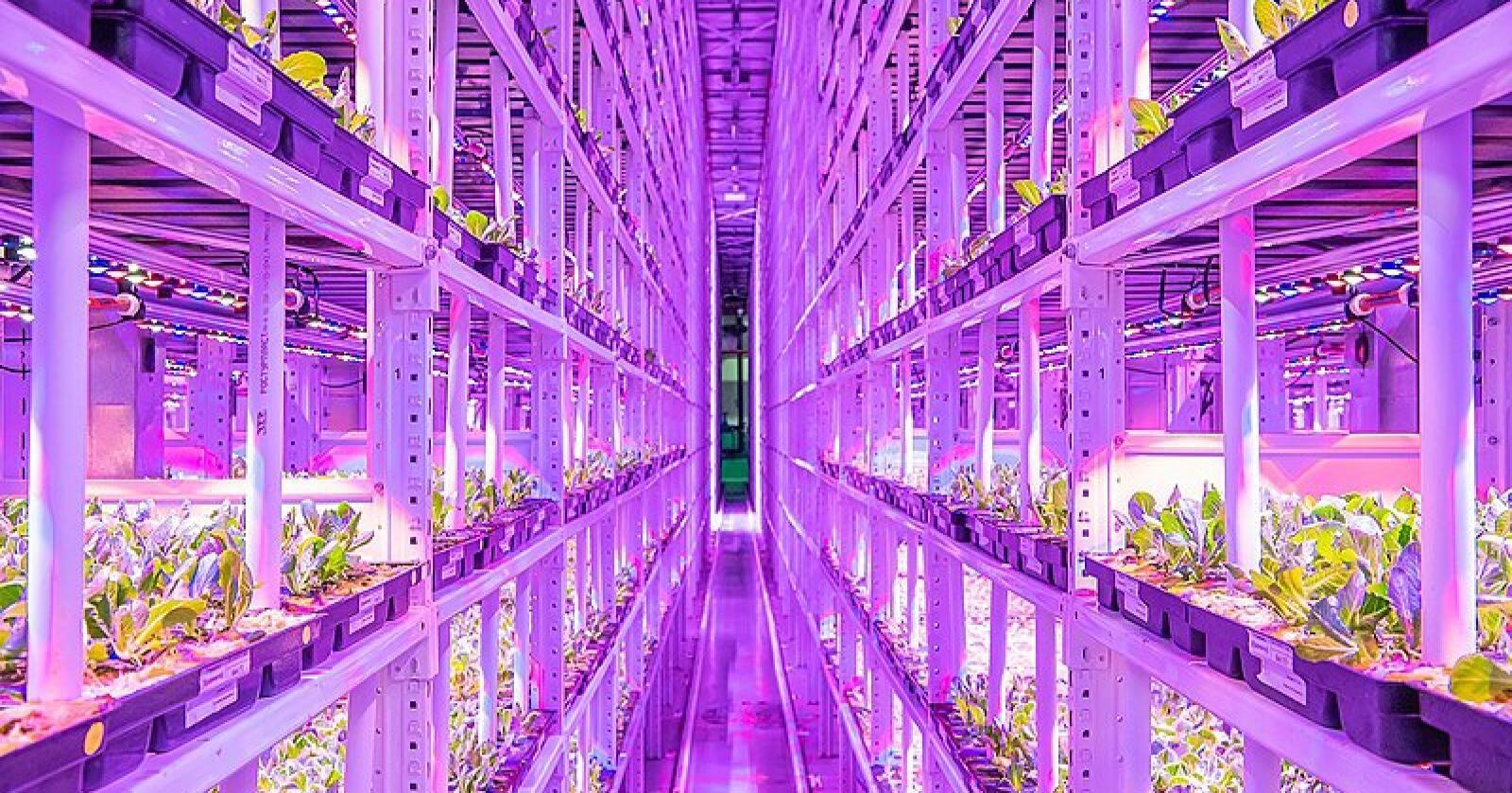 Vertikalt landbruk i Moskva der det dyrkes små grønne vekster.