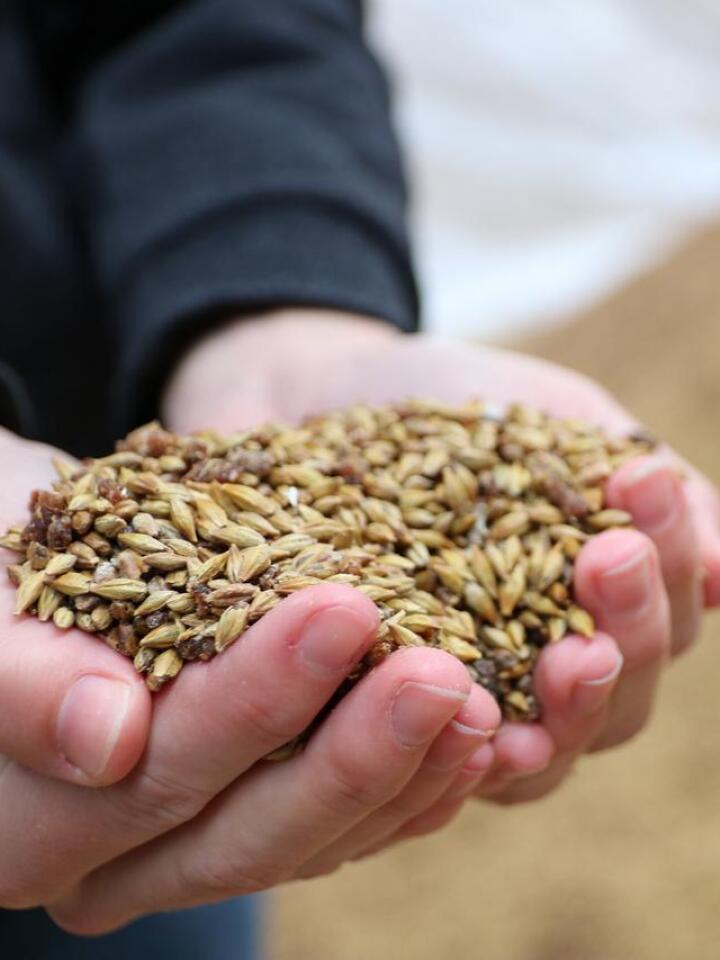 REAGERER: – Det unike med alkalisk korn, eller Maxammon og Home'N'Dry-behandling, er at nitrogenet bindes i kornet som ammoniumsalter sammen med stivelsen, sier de tre sjefene i sitt tilsvar til Felleskjøpet. Foto: Strand Unikorn