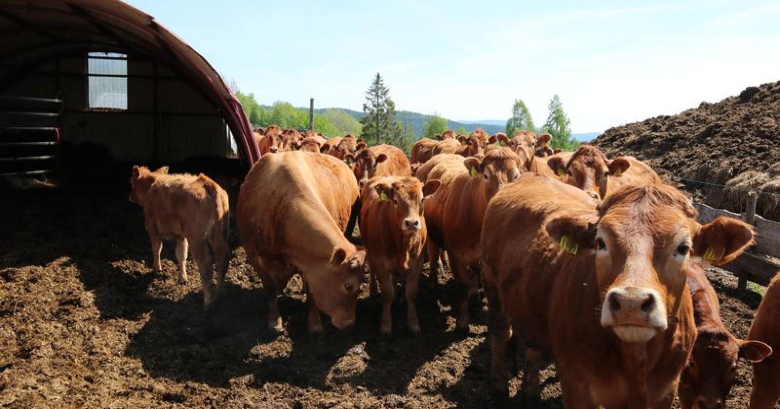 Striden har dreid seg om hvor mye det koster for Geno å produsere kjøttfesæd på oppdrag fra Tyr, og hvor stor andel av prisen til produsent som skal tilfalle hver organisasjon. Foto: Dag Idar Jøsang