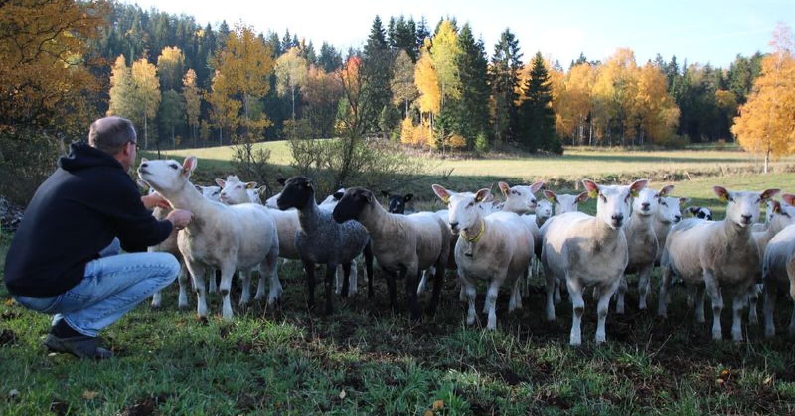 Forskere på NMBU har fått tre millioner kroner til å forske på hvordan norske sauedrift kan bli mer klimavennlig. Foto: Camilla Mellemstrand