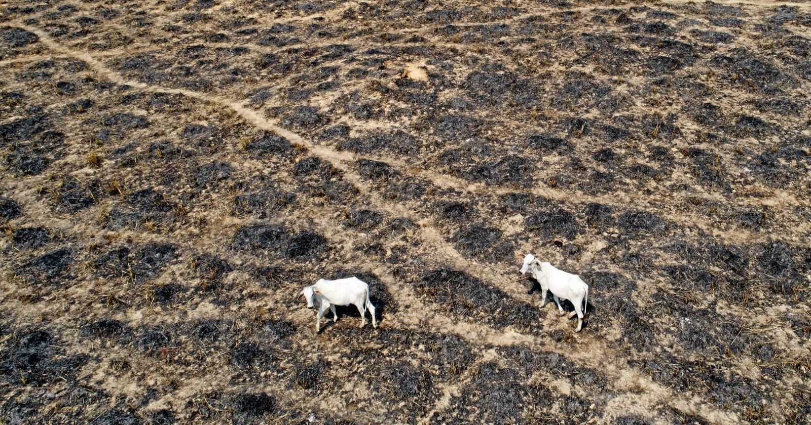 Brasil har de siste årene opplevd økt avskoging til landbruksarealer. Foto: André Penner / AP / NTB