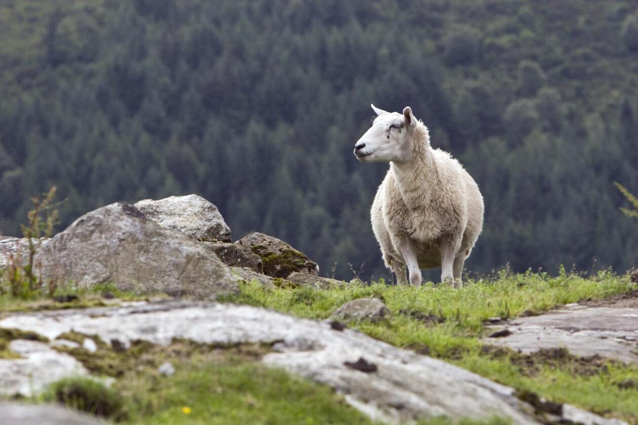 NIBIO vil få mer kunnskap om hvordan dyr på utmarksbeite påvirker det biologiske mangfoldet. Foto: Dag Lauvland.