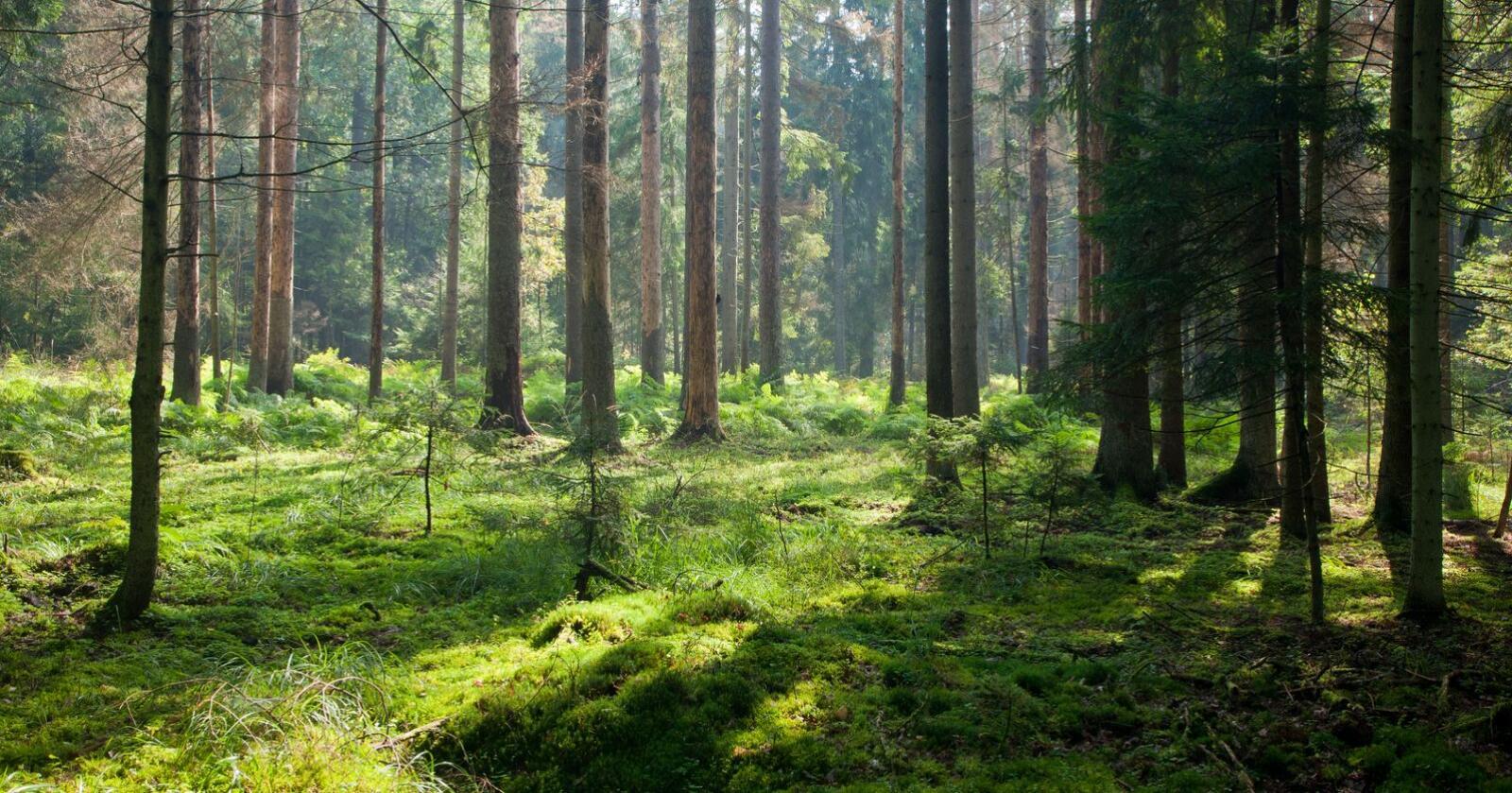 Bærekraftig: Skogbruket har gjennom flere år benyttet seg av metoden Miljøregistreinger i Skog – en metode som er forskningsbasert og tilpasset formålet om bærekraftig forvaltning av skogarealene, skriver innsenderen. Foto: Mostphotos