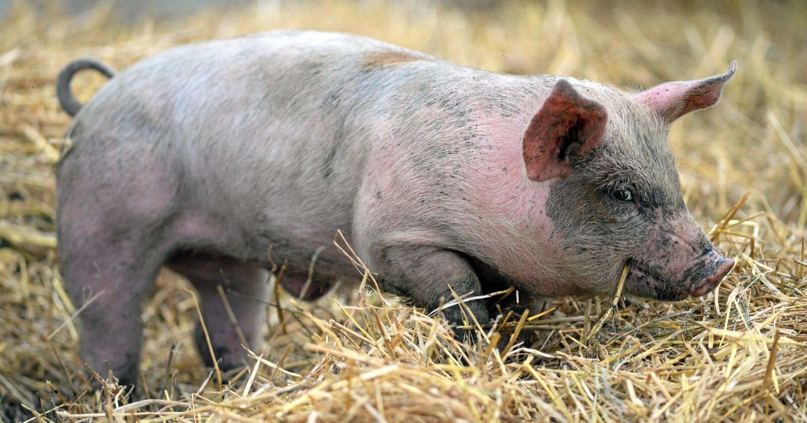 Overskriften lyver: Grisen lever slett ikke lenge. Når de fødes, veier en grisunge bare en tredel av et menneskebarn. Etter seksten uker veier en baby ca. sju kilo, mens grisen på samme tid kan slå i bordet med rundt 70 kilo. Etter seks måneder bærer det til slakteriet. Foto: Per A. Borglund