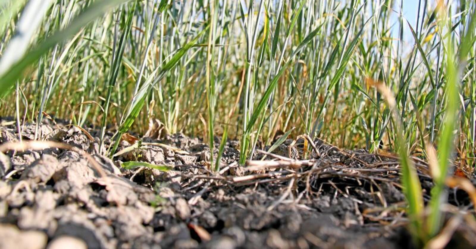 Plantesorter som takler tørke, slik som i fjor sommer, er blant det danskenes Det Etiske Råd mener er etisk problematisk å ikke tillate. Foto: Svein Egil Hatlevik