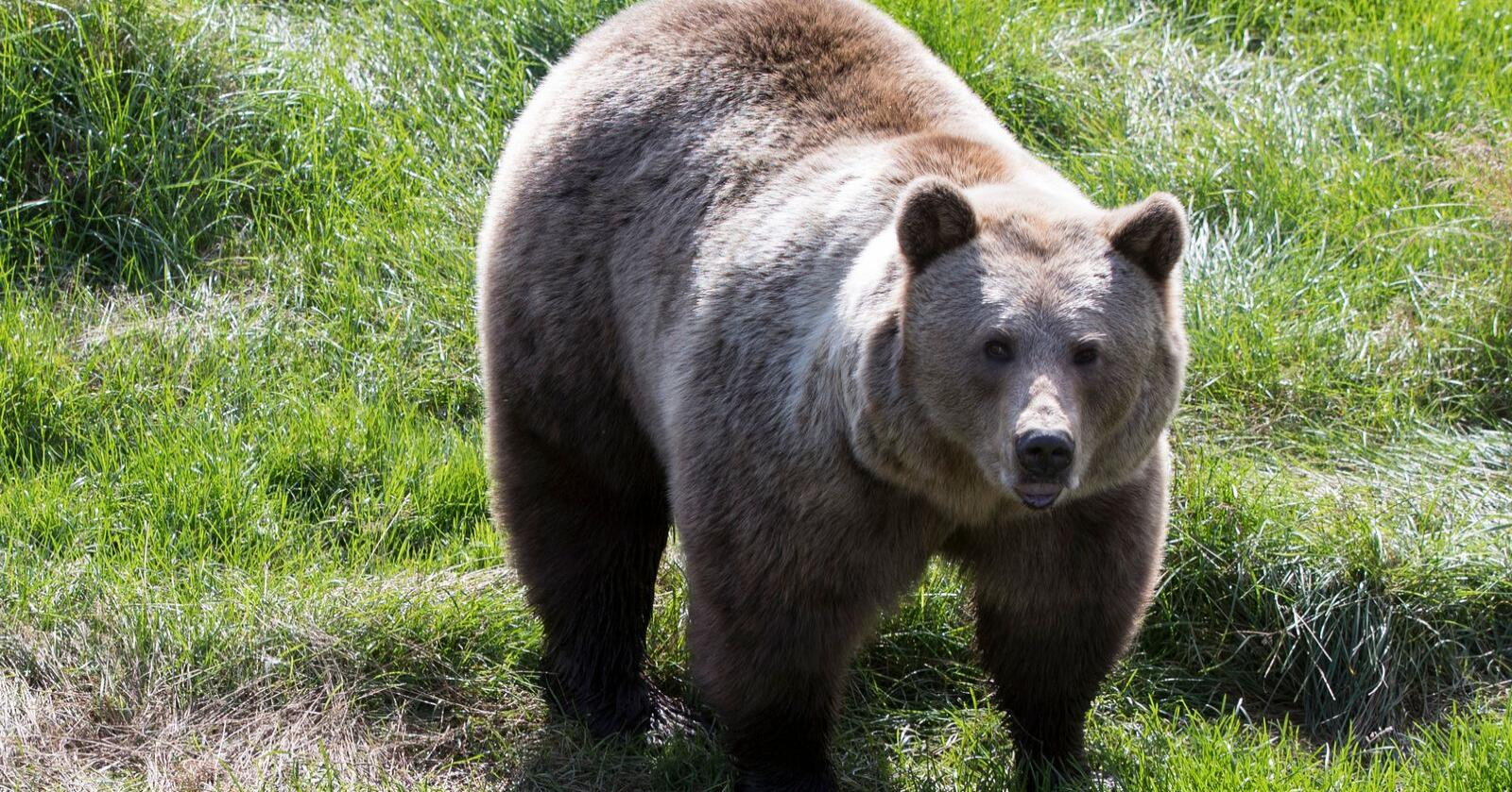 Bjørn i Namsskogan familiepark. Foto: Berit Roald / NTB scanpix