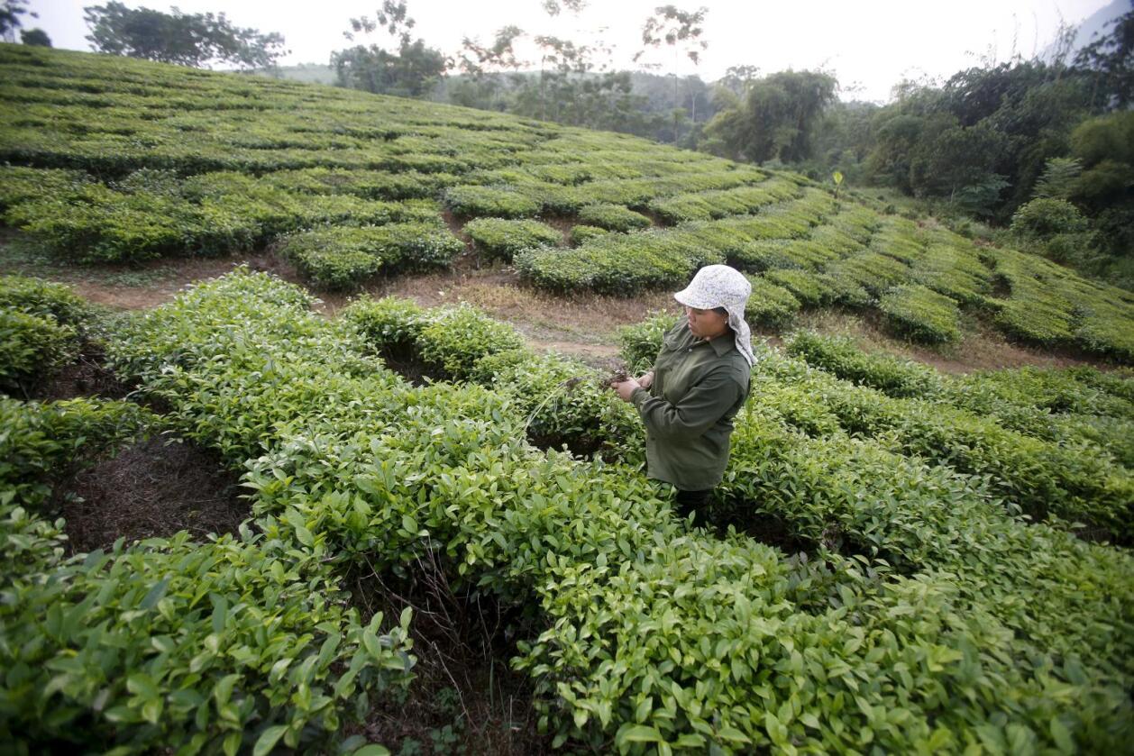 TPP-avtalen vil påvirke 40 prosent av verdensøkonomien. Her ser vi produksjon av te i Thailand. Foto: REUTERS/KHAM/NTB SCANPIX