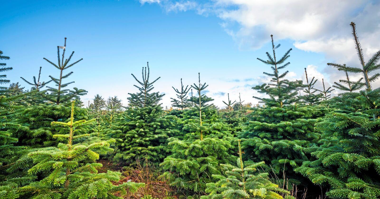 Utsetting av utenlandske treslag i blant annet plantasjer for juletre og pyntegrønt, har konsekvenser for naturmangfoldet på utsettingsområdene. Foto: Mostphotos