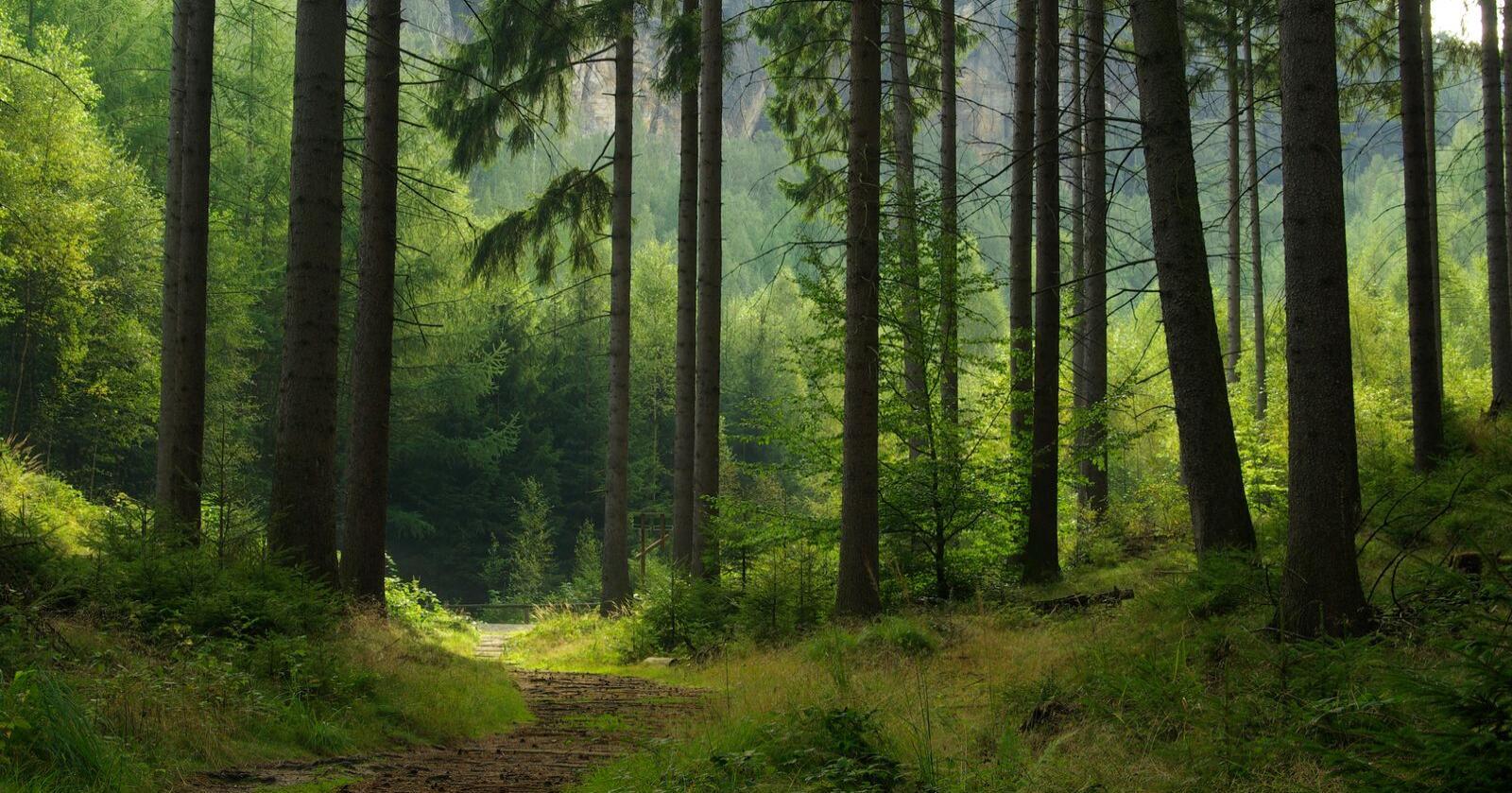 Svak: Granskog er både råtesvak, stormsvak og tørkesvak, så det er «risikosport» å la den stå noe lengre enn hittil anbefalt omløpstid, skriver innsenderen.
